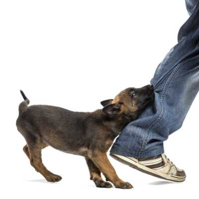 A dog attempting to bite a walking man on his legs