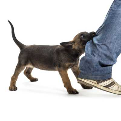 A dog trying to bite a walking man on his legs